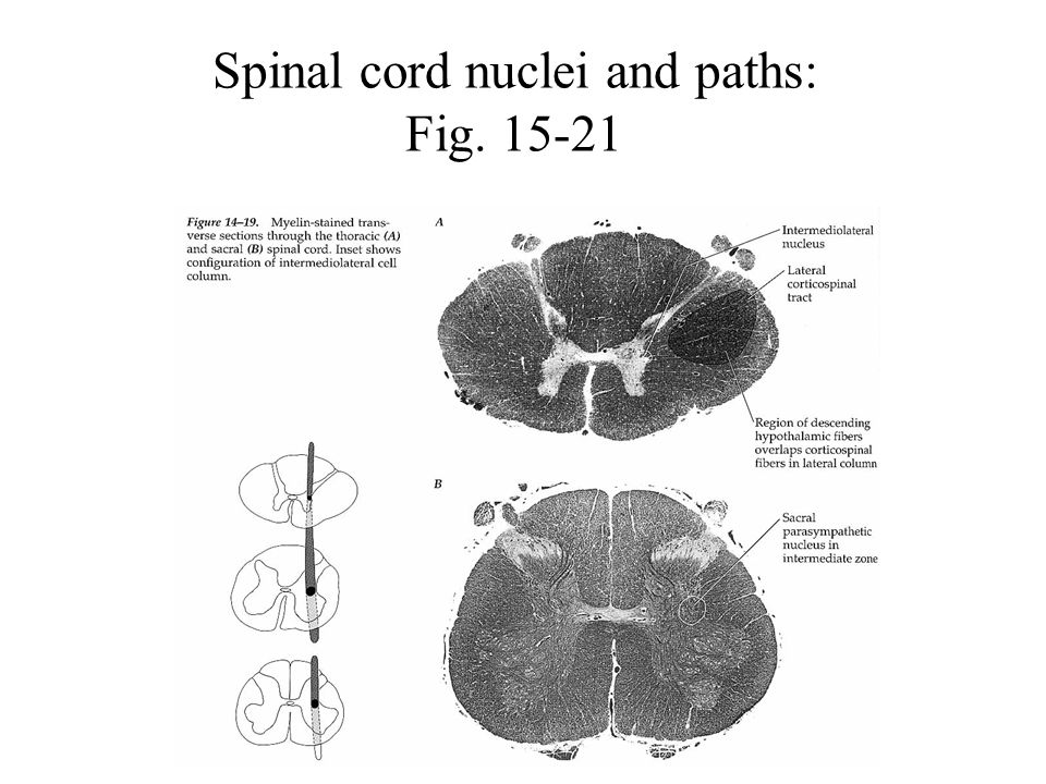 Spinal cord nuclei and paths: Fig. 15-21