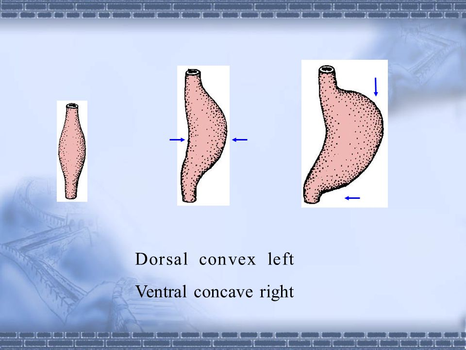 Dorsal convex left Ventral concave right