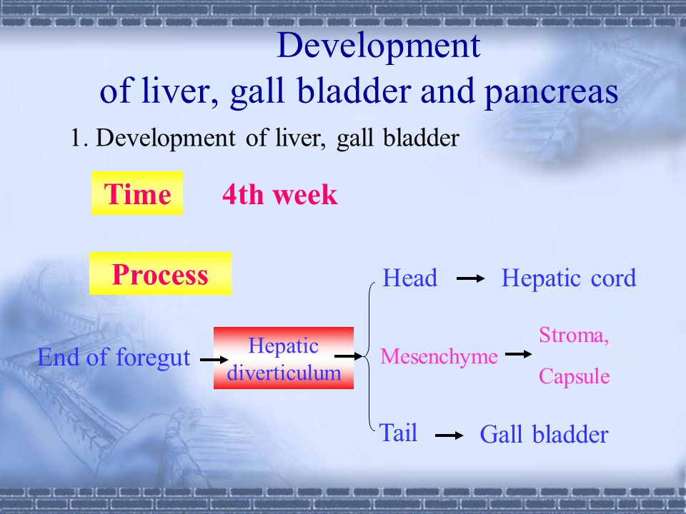 Development of liver, gall bladder and pancreas