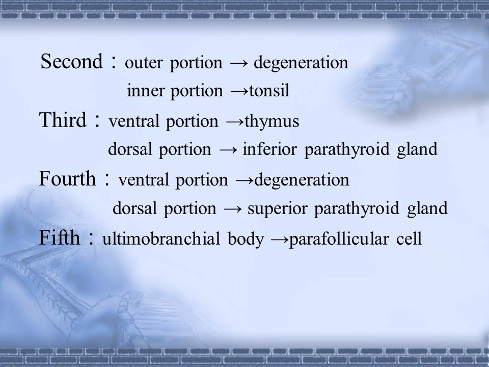 Second:outer portion → degeneration Third:ventral portion →thymus