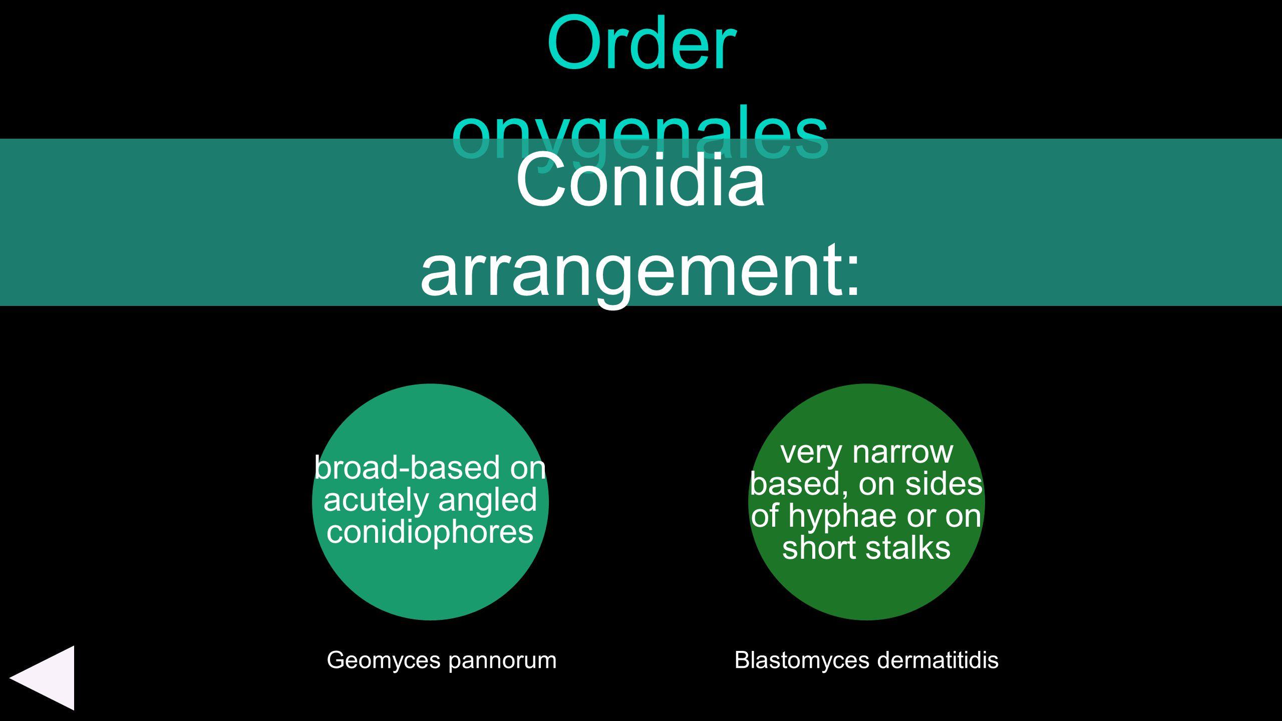 Order onygenales Conidia arrangement: