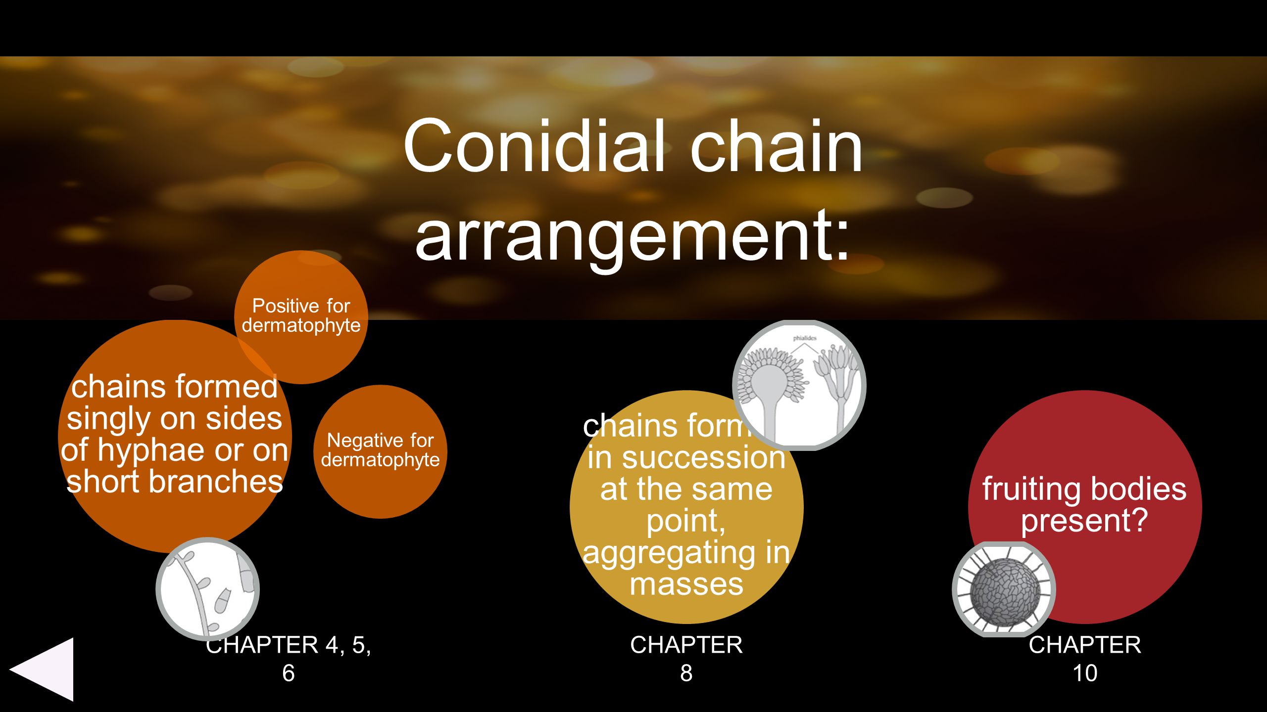 Conidial chain arrangement: