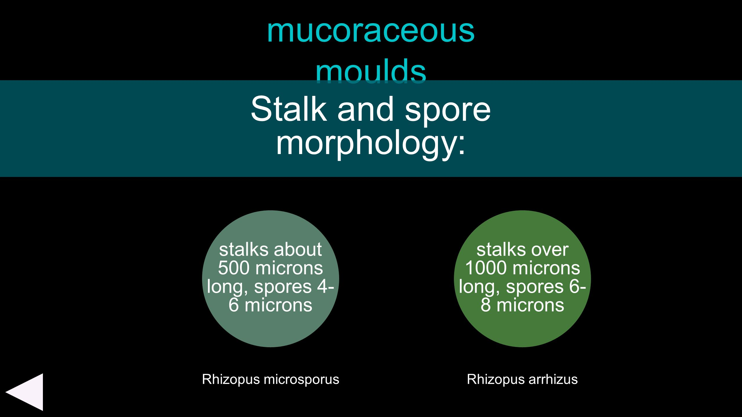 Stalk and spore morphology: