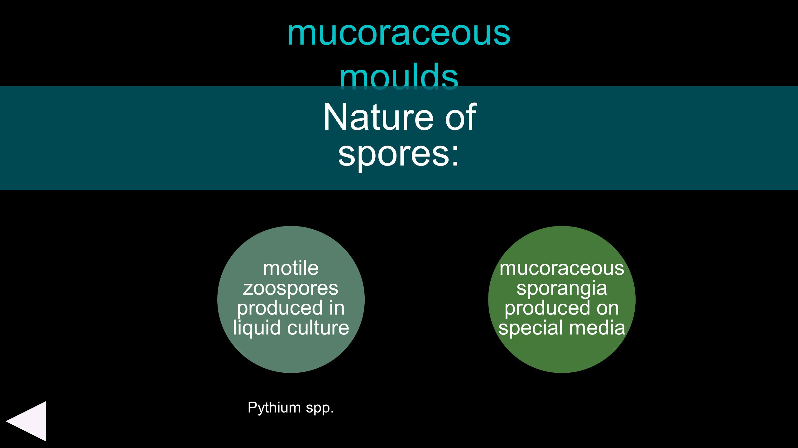 mucoraceous moulds Nature of spores: