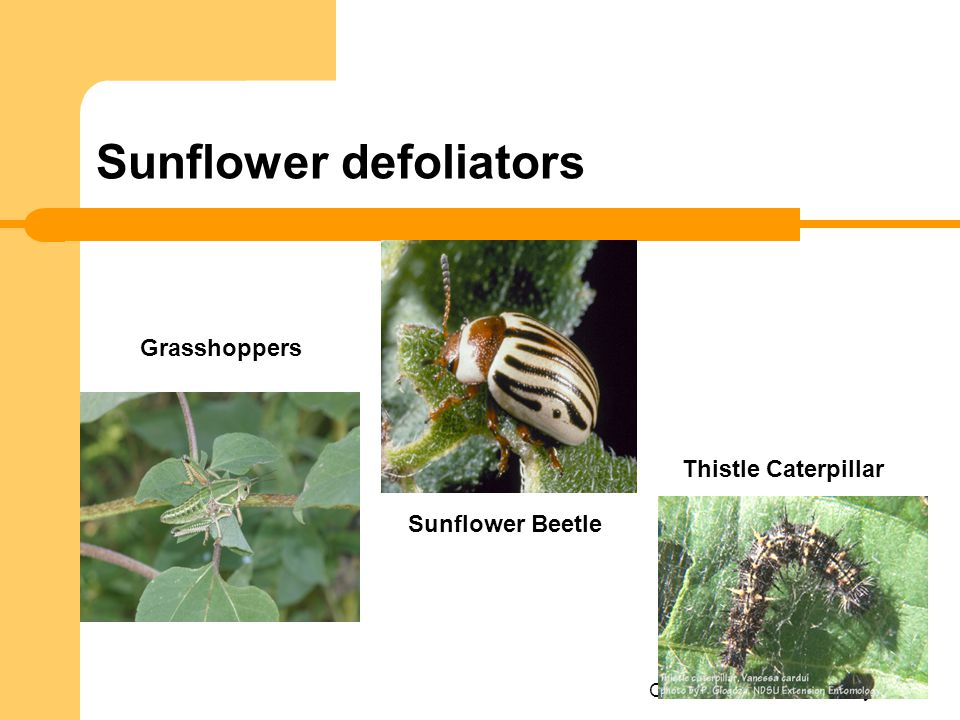 Sunflower defoliators