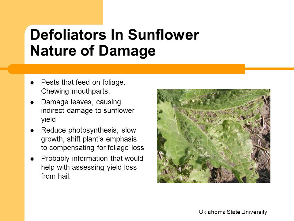 Defoliators In Sunflower Nature of Damage