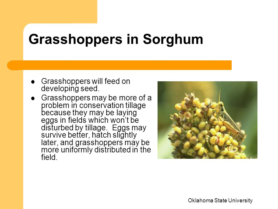 Grasshoppers in Sorghum