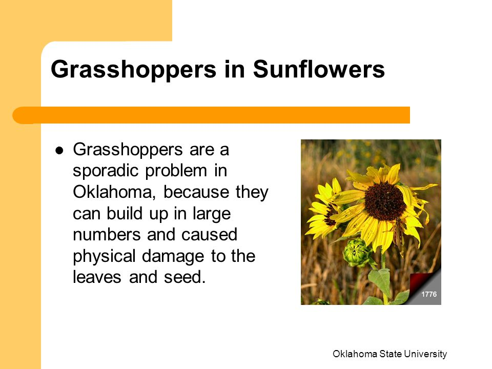 Grasshoppers in Sunflowers