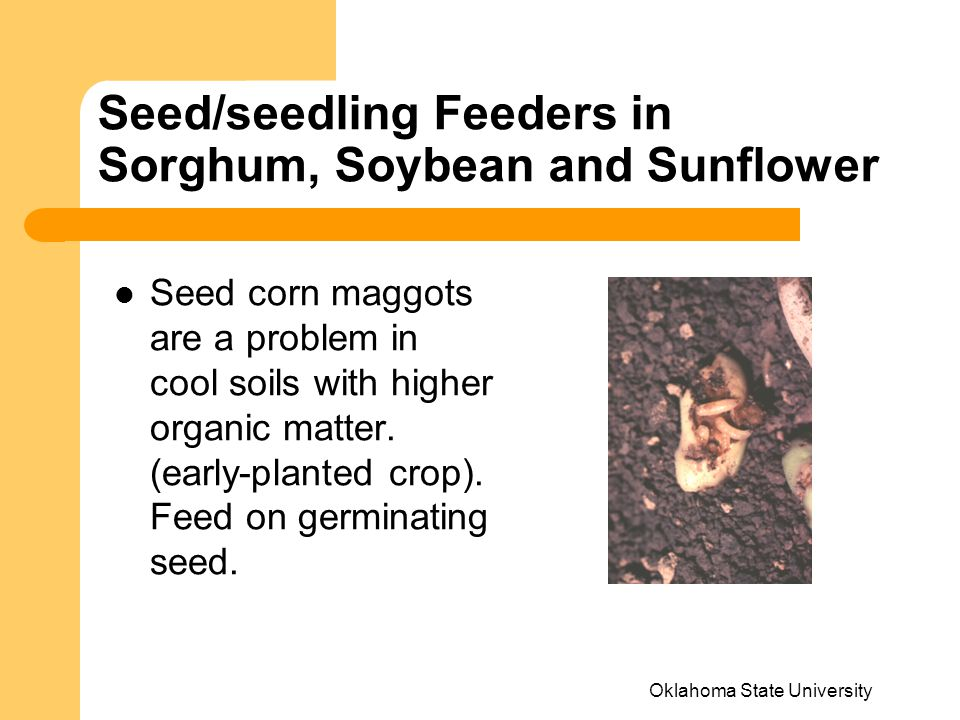 Seed/seedling Feeders in Sorghum, Soybean and Sunflower