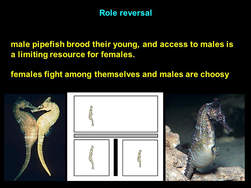 Role reversal male pipefish brood their young, and access to males is a limiting resource for females.