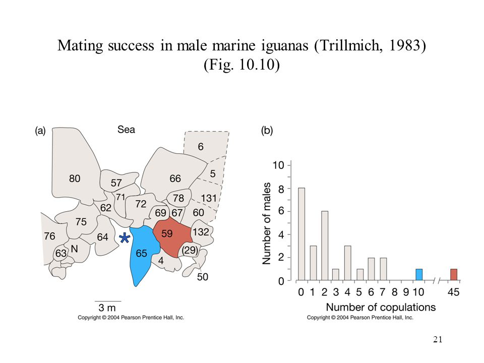Mating success in male marine iguanas (Trillmich, 1983) (Fig. 10.10)