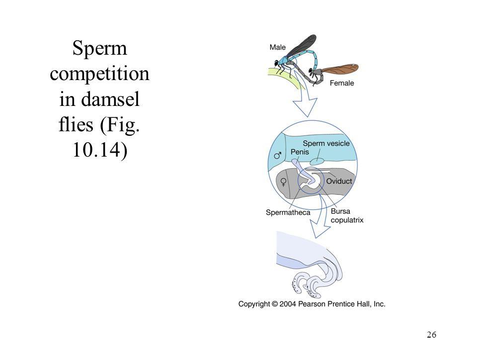 Sperm competition in damsel flies (Fig. 10.14)