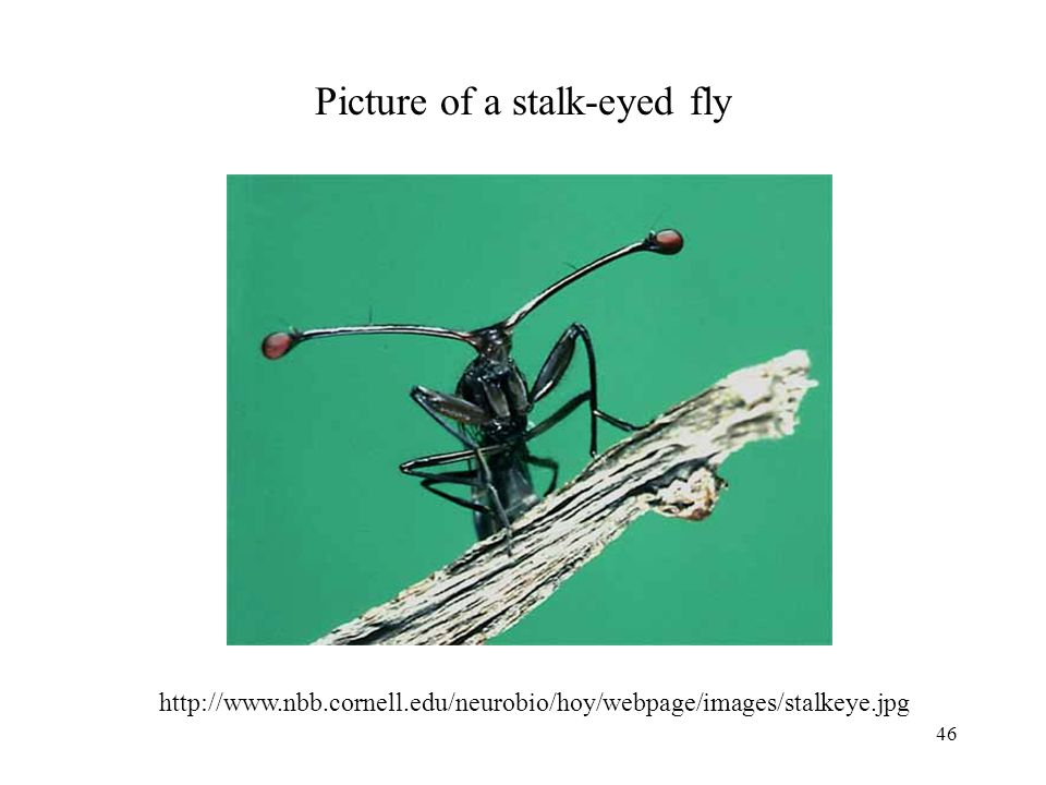 Picture of a stalk-eyed fly