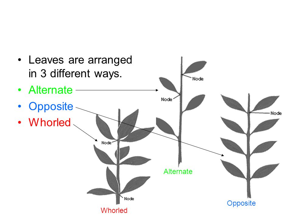 Leaves are arranged in 3 different ways. Alternate Opposite Whorled
