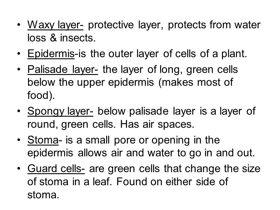 Waxy layer- protective layer, protects from water loss & insects.