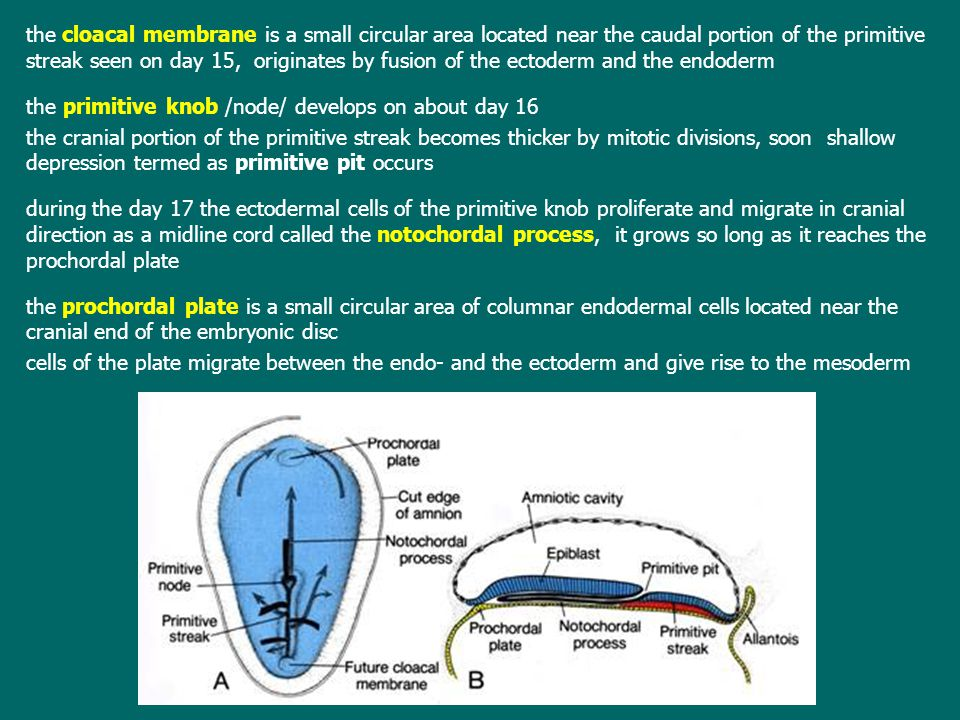 the cloacal membrane is a small circular area located near the caudal portion of the primitive streak seen on day 15, originates by fusion of the ectoderm and the endoderm