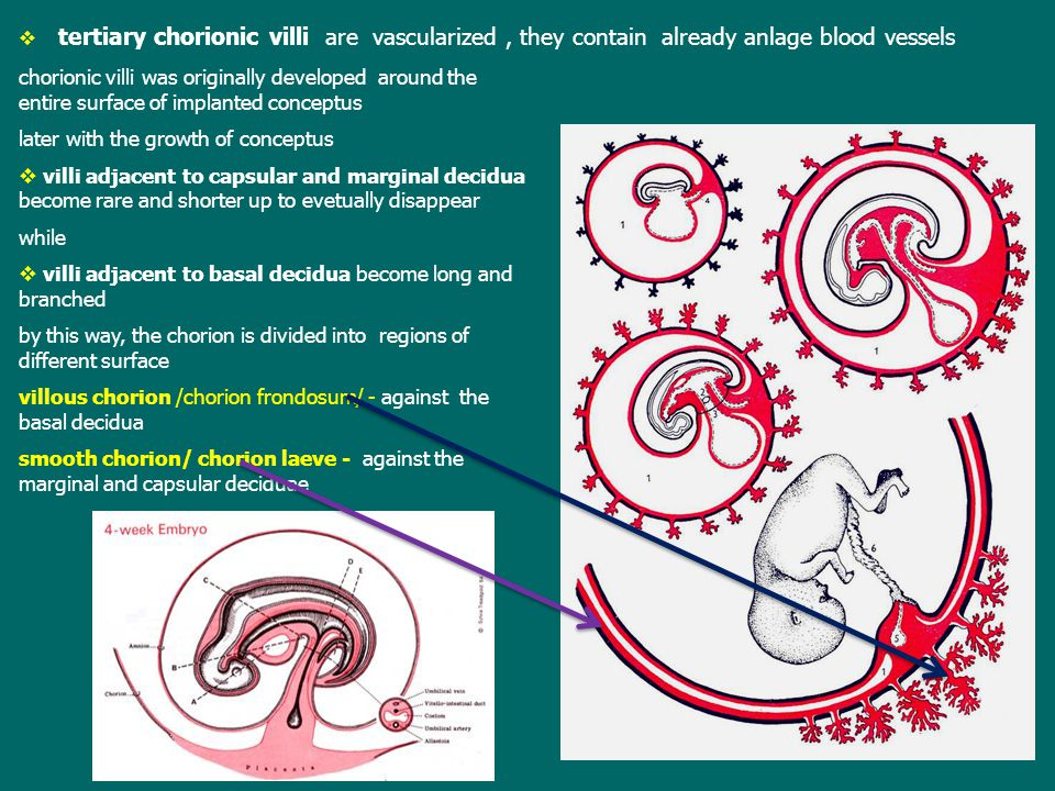 tertiary chorionic villi are vascularized , they contain already anlage blood vessels