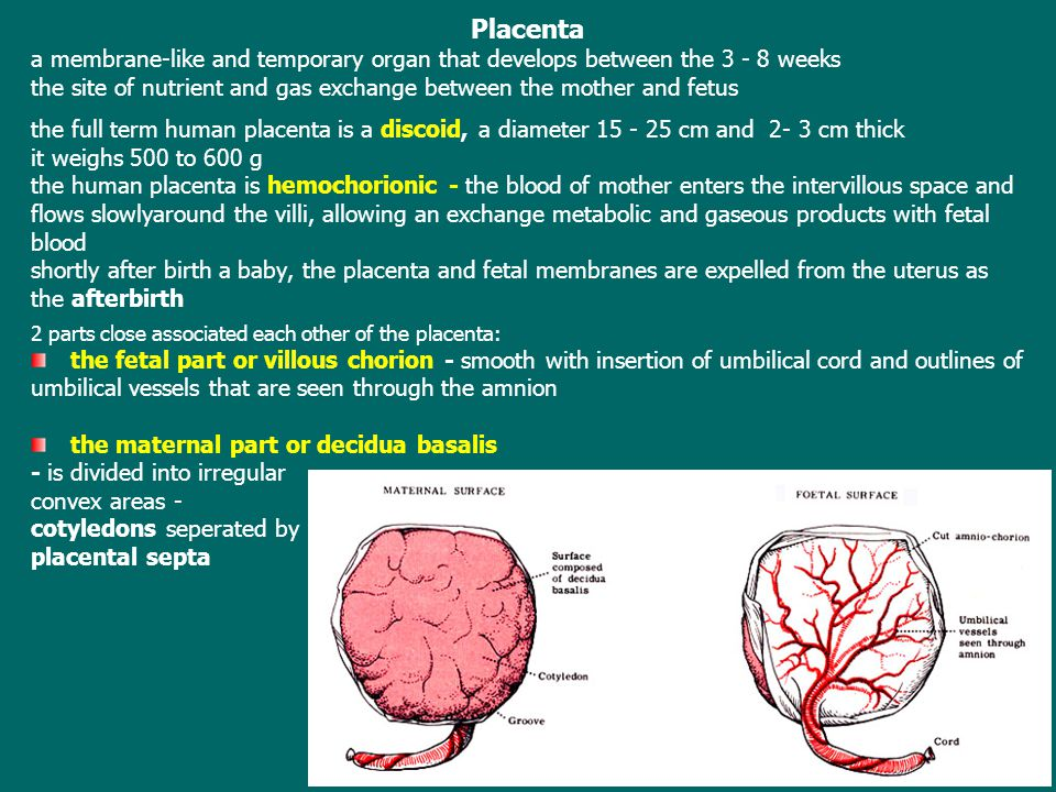 Placenta a membrane-like and temporary organ that develops between the 3 - 8 weeks.