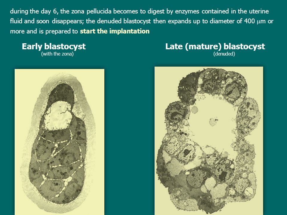 Early blastocyst Late (mature) blastocyst