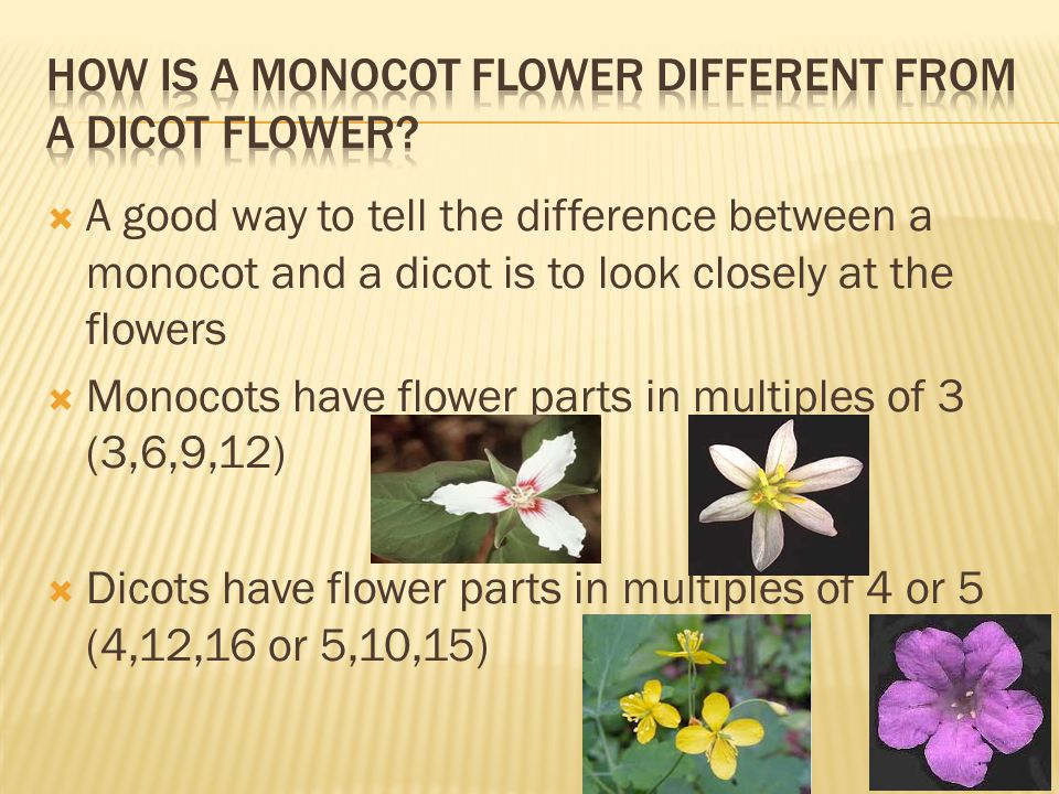 How is a Monocot Flower Different From a Dicot Flower