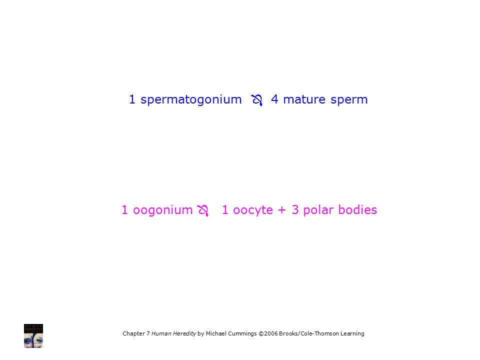1 spermatogonium  4 mature sperm