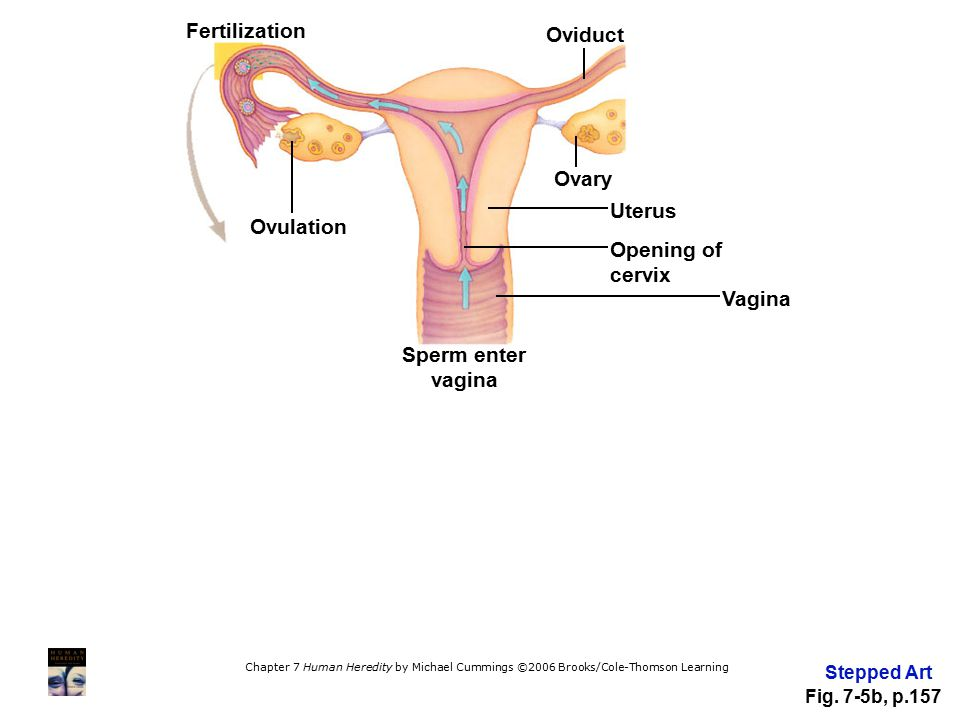 Fertilization Oviduct Ovary Uterus Ovulation Opening of cervix Vagina