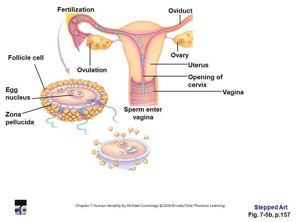 Fertilization Oviduct Ovary Follicle cell Uterus Ovulation