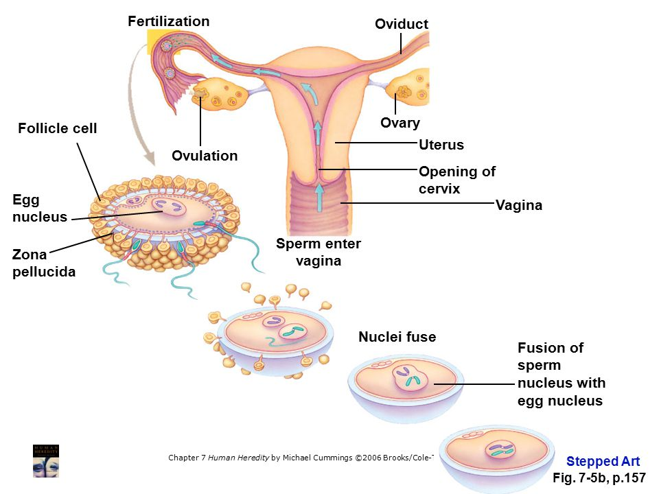 Fusion of sperm nucleus with egg nucleus