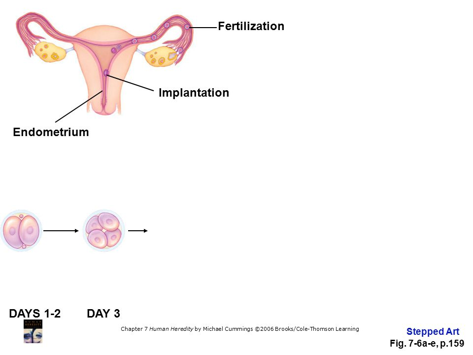Fertilization Implantation Endometrium DAYS 1-2 DAY 3 Stepped Art