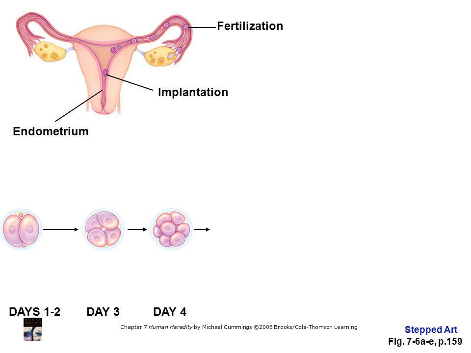 Fertilization Implantation Endometrium DAYS 1-2 DAY 3 DAY 4