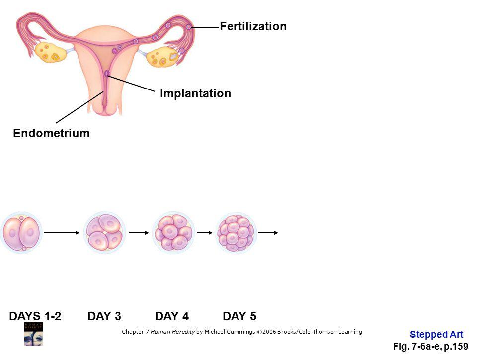 Fertilization Implantation Endometrium DAYS 1-2 DAY 3 DAY 4 DAY 5