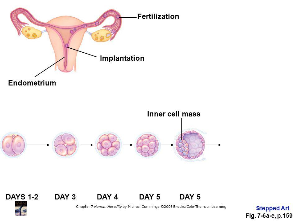 Fertilization Implantation Endometrium Inner cell mass DAYS 1-2 DAY 3