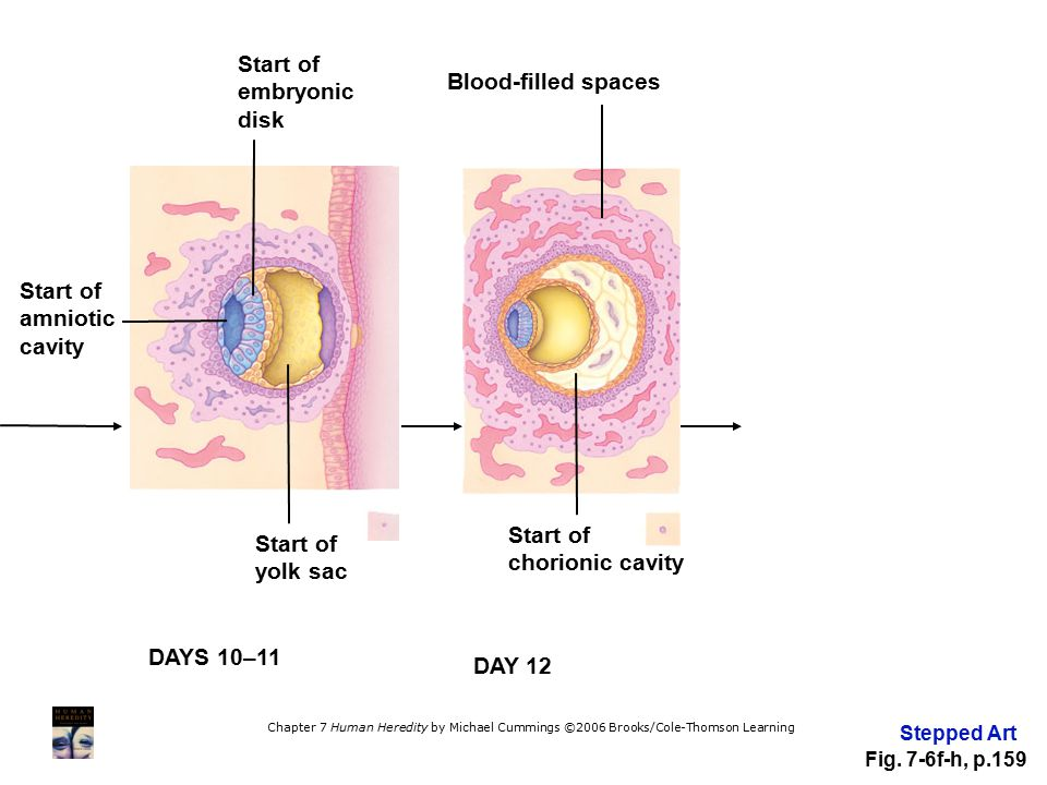Start of embryonic disk Blood-filled spaces Start of amniotic cavity