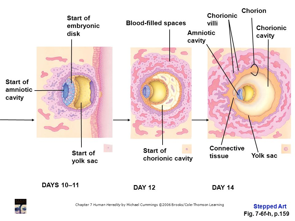 Chorion Chorionic villi Start of embryonic disk Blood-filled spaces