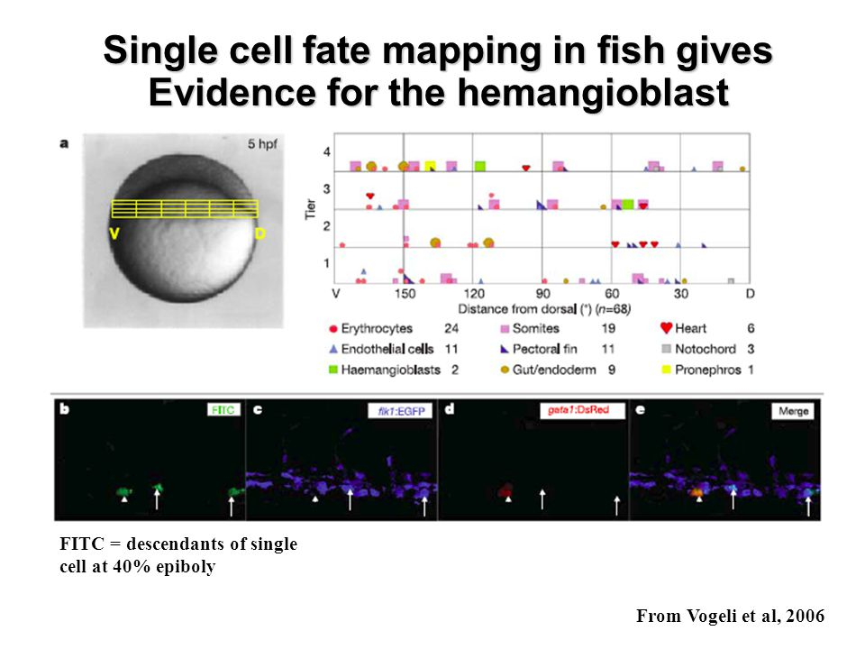 Single cell fate mapping in fish gives Evidence for the hemangioblast