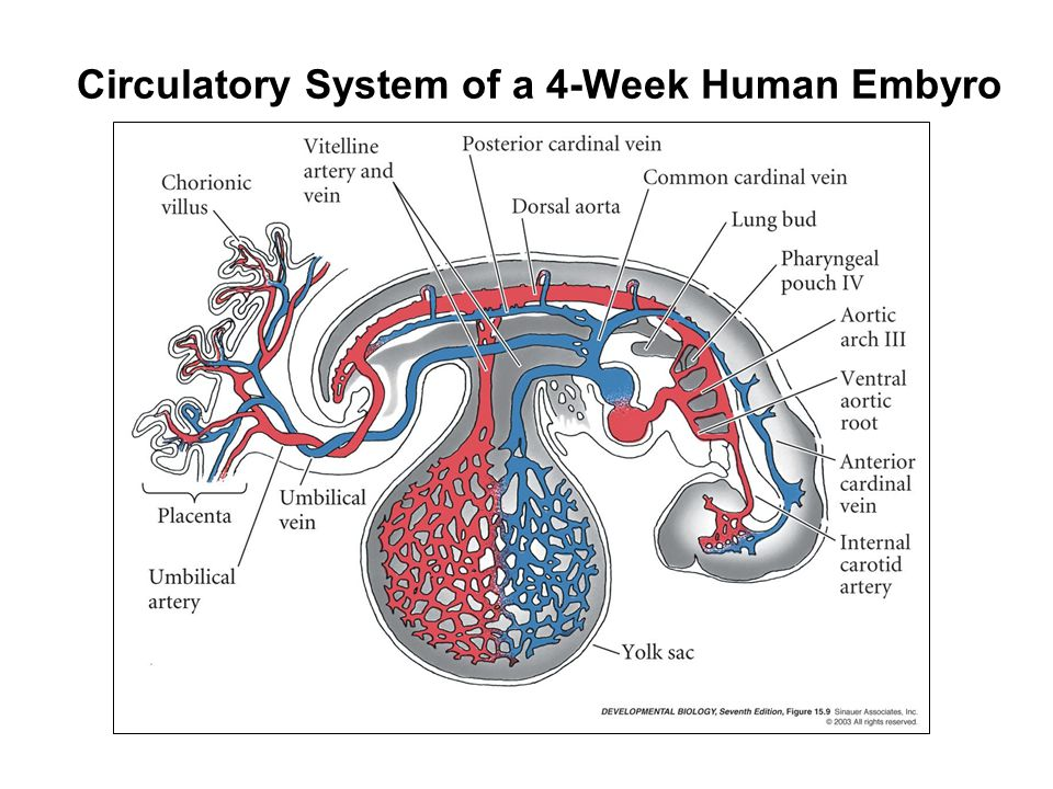 Circulatory System of a 4-Week Human Embyro