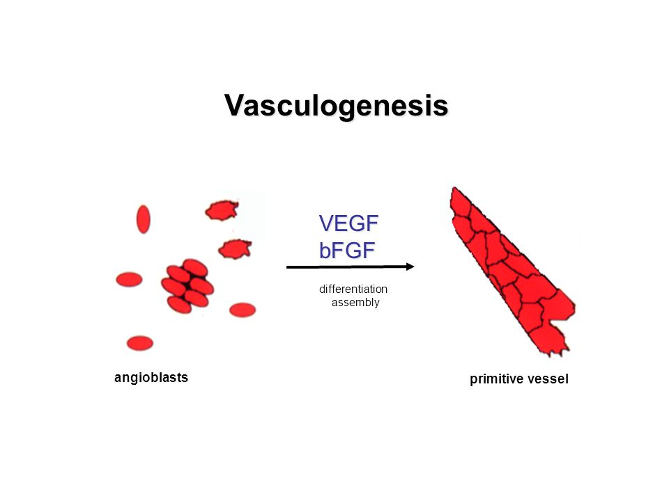 Vasculogenesis VEGF bFGF angioblasts primitive vessel differentiation