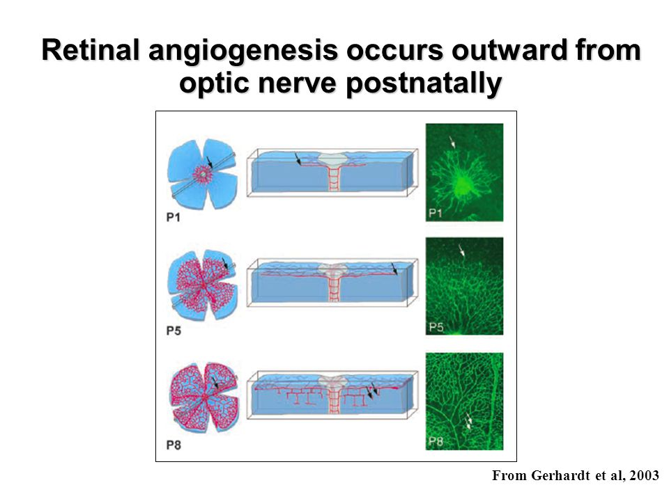 Retinal angiogenesis occurs outward from optic nerve postnatally