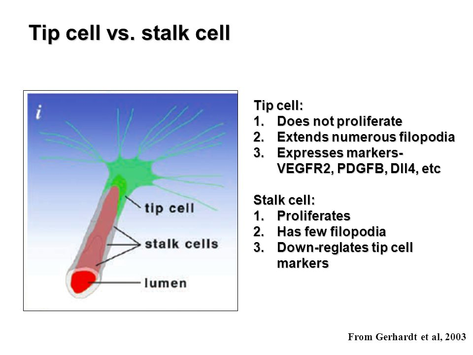 Tip cell vs. stalk cell Tip cell: Does not proliferate