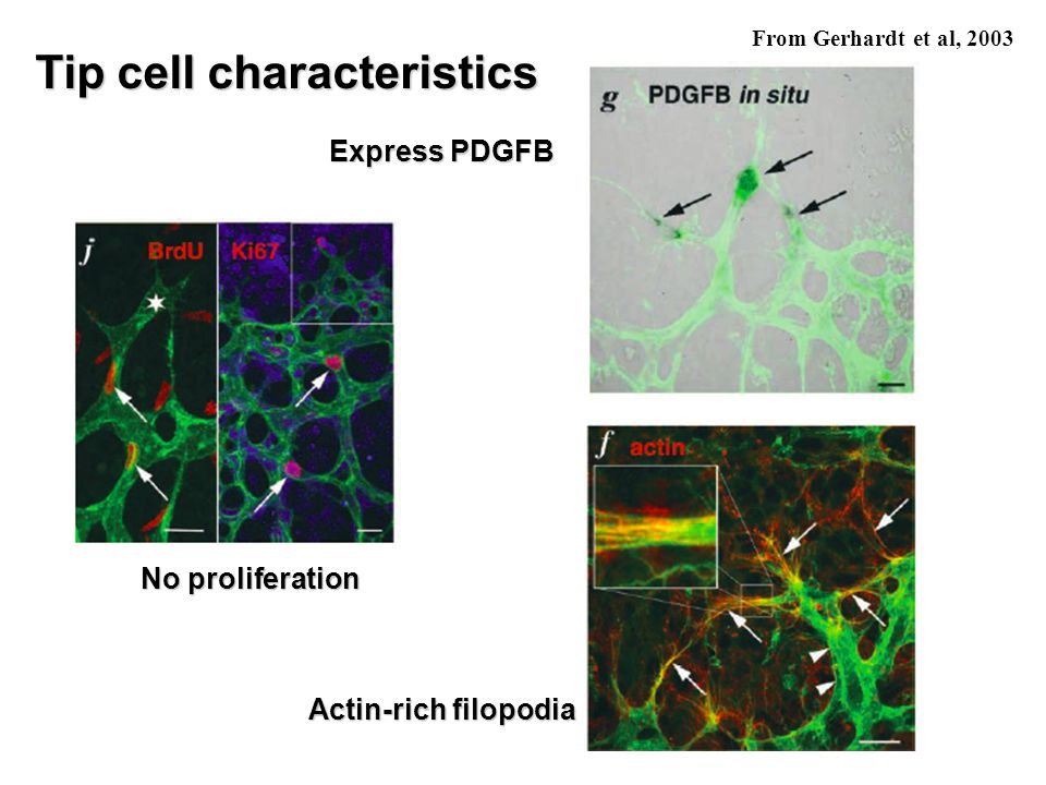 Tip cell characteristics