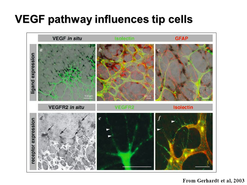 VEGF pathway influences tip cells