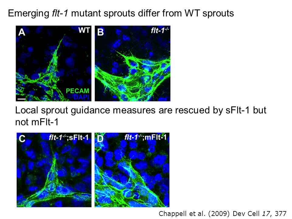 Emerging flt-1 mutant sprouts differ from WT sprouts