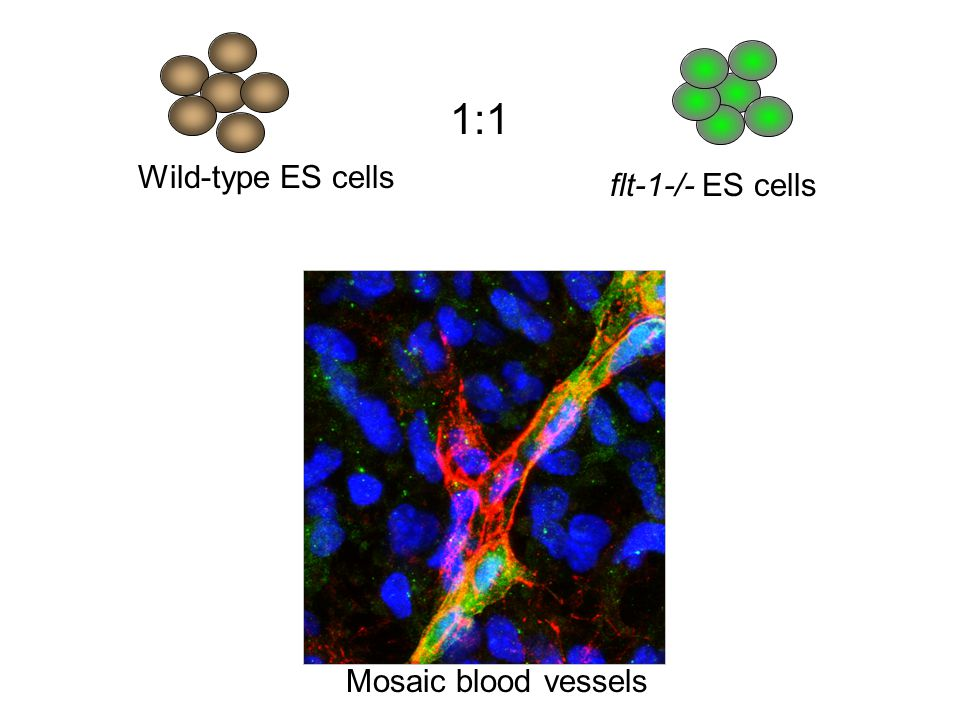 1:1 Day 0 Day 8 Wild-type ES cells flt-1-/- ES cells