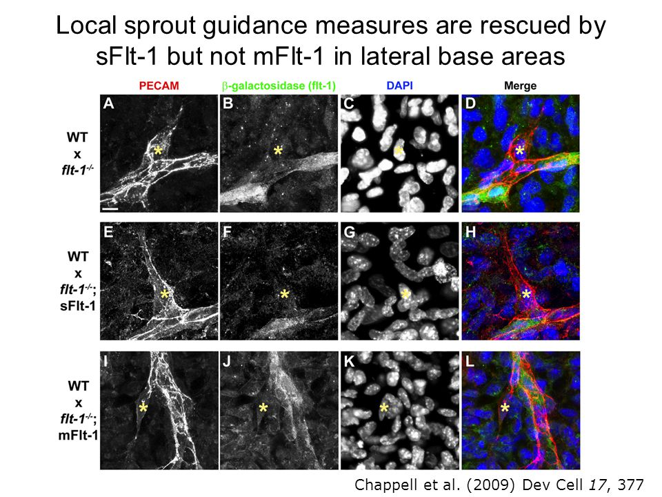 Local sprout guidance measures are rescued by sFlt-1 but not mFlt-1 in lateral base areas