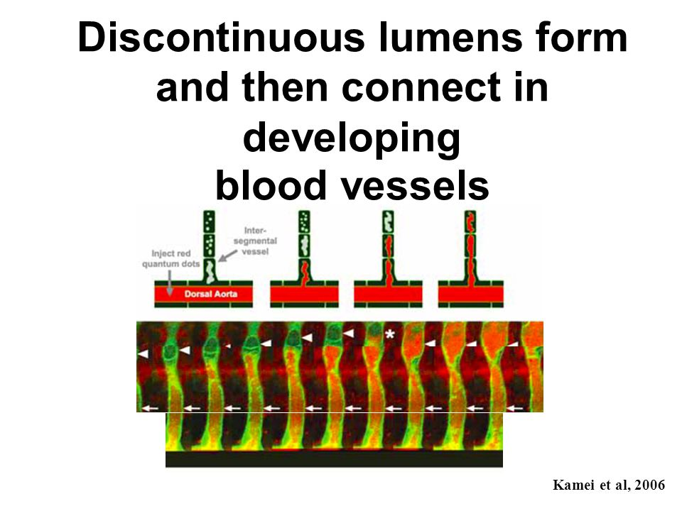 Discontinuous lumens form and then connect in developing blood vessels