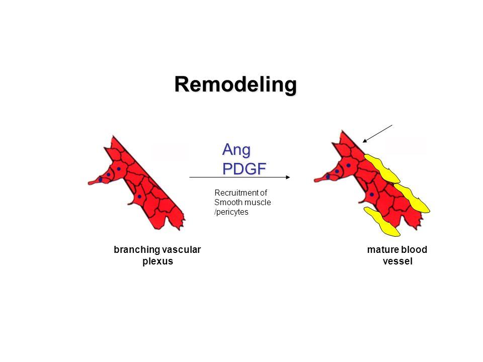 Remodeling Ang PDGF branching vascular plexus mature blood vessel