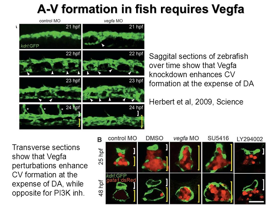 A-V formation in fish requires Vegfa