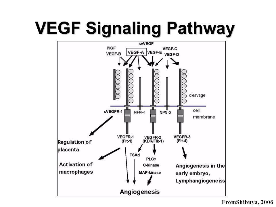 VEGF Signaling Pathway