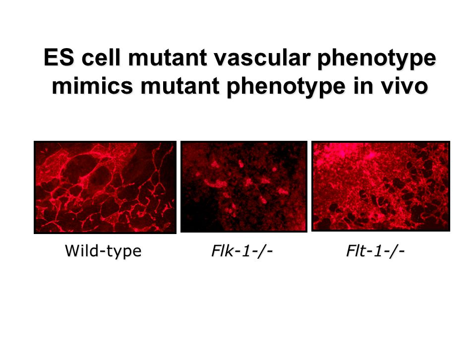 ES cell mutant vascular phenotype mimics mutant phenotype in vivo