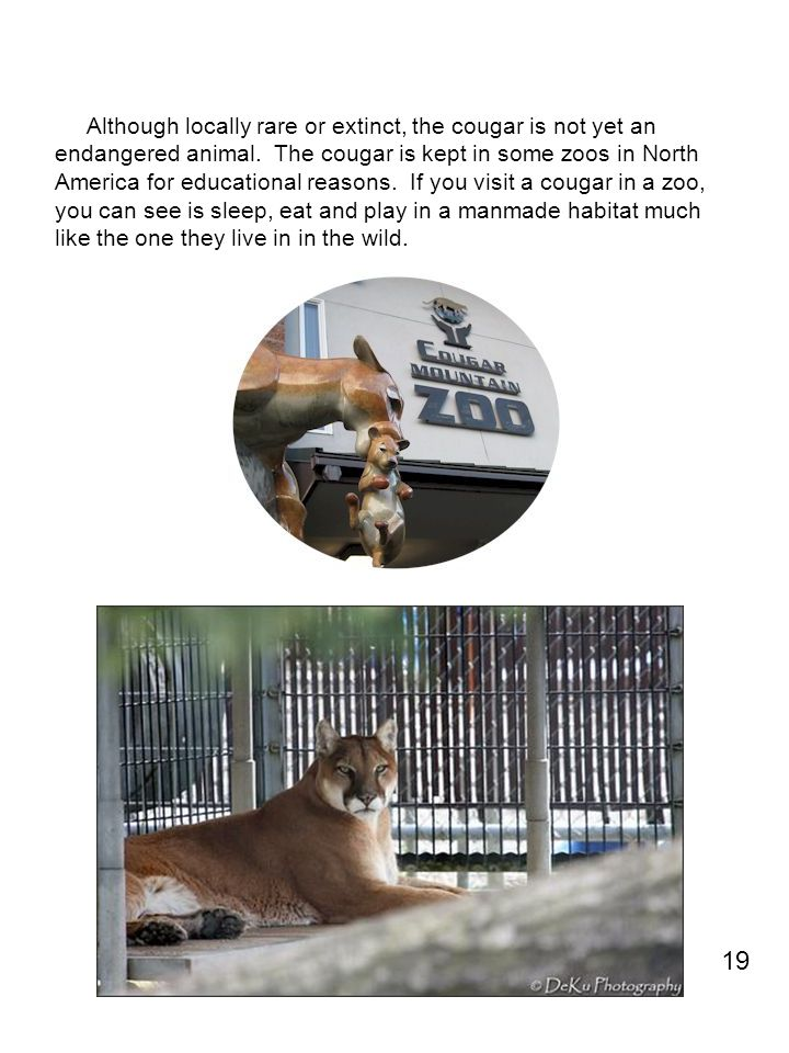 Although locally rare or extinct, the cougar is not yet an endangered animal. The cougar is kept in some zoos in North America for educational reasons. If you visit a cougar in a zoo, you can see is sleep, eat and play in a manmade habitat much like the one they live in in the wild.